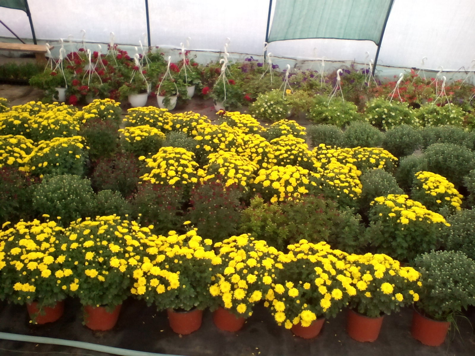 labirint-garden-tuia-tuia-radauti-marginea-plante-ornamentale-depozit-flori-14