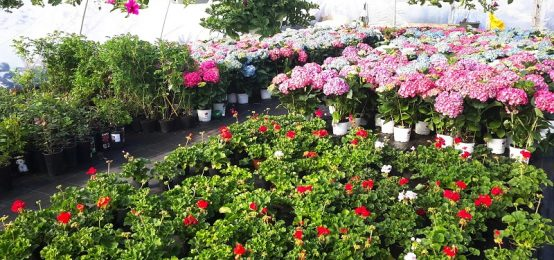 Sera flori Suceava, plante si pomi ornamentali, flori de sezon